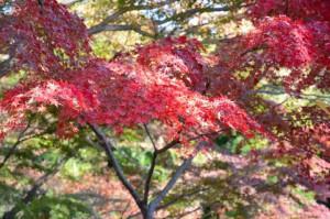 紅葉です、朝晩が寒くなってきました